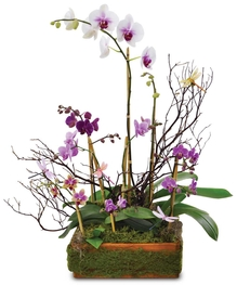 These amazing orchid plants are sure to be perfect for any home or office space!